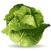 cabbage vector illustration isolat