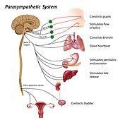 Parasympathetic system