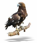 young brown eagle sitting on a support isolated over white