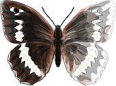 Butterfly Brintesia Circe. Unfinished Watercolor drawing imitati