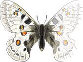 Butterfly Parnassius Apollonius. Unfinished Watercolor drawing i
