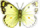Butterfly Colias Erate. Unfinished Watercolor drawing imitation.