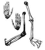Hand drawn humerus, ulna and hand bones