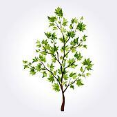 Summer tree. Maple