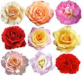 set of 9 roses blooming