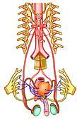 testicular function