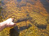 Hand Releasing Brown Trout