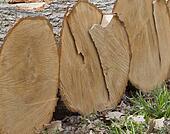 Stack of White Oak Tree Logs