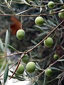 an olive branch with ripe olives - symbol of health and peace