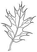 Leaf of oak Iberian, contour