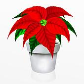 Christmas Poinsettia Flower in Whit
