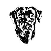 Head of dog, labrador retriever