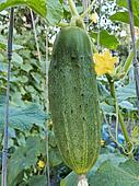 Green cucumber in a garden