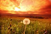 some white dandelions on sunrise