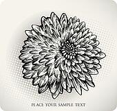 Chrysanthemum flower hand drawn. Ve