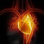 Glowing heart with internal organs