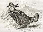 Gretaer Prairie Chicken