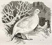 Willow Ptarmigan bis