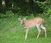 Winking deer