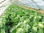 Cabbage vegetables in arch shed, China