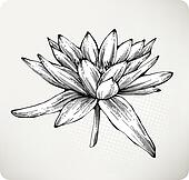 White water lily hand drawing