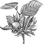Hazel or Corylus sp., vintage engraving