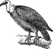 Griffon Vulture or Gyps fulvus, vintage engraving