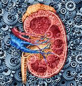 Human Kidney Function
