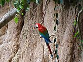 Green-winged macaw at a clay lick