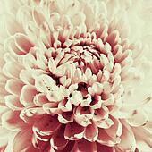Dahlia flower black and white scanned closeup photo.