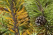 pine code on the mugo pine