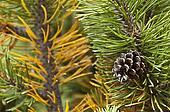 pine code on the mugo pine