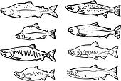Salmon fishes