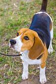 dog Beagle breed on the green grass in the summer