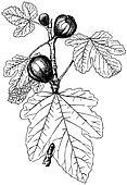 Plant Ficus carica
