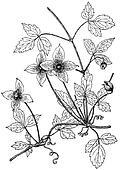 Plant Clematis montana