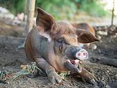 Pig yawning