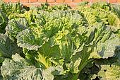green chinese cabbage
