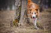 red border collie looks out from behind a tree