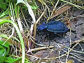 Blue beetle crawling