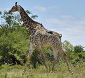 Giraffe with Two Hitchiking Birds