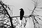 Crow and branches Silhouette. stock