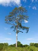 Single big tree under cloudy sky