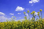 Mustard plants against a blue sky
