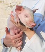 Pig in female hands
