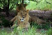 Lions in the bush