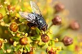 Housefly aka house fly over natural background, Musca domestica
