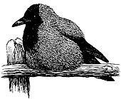 Bird Hooded Crow