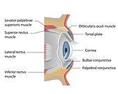 Eye conjunctiva, eps10