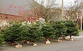 sale of fir trees nordman for Chris